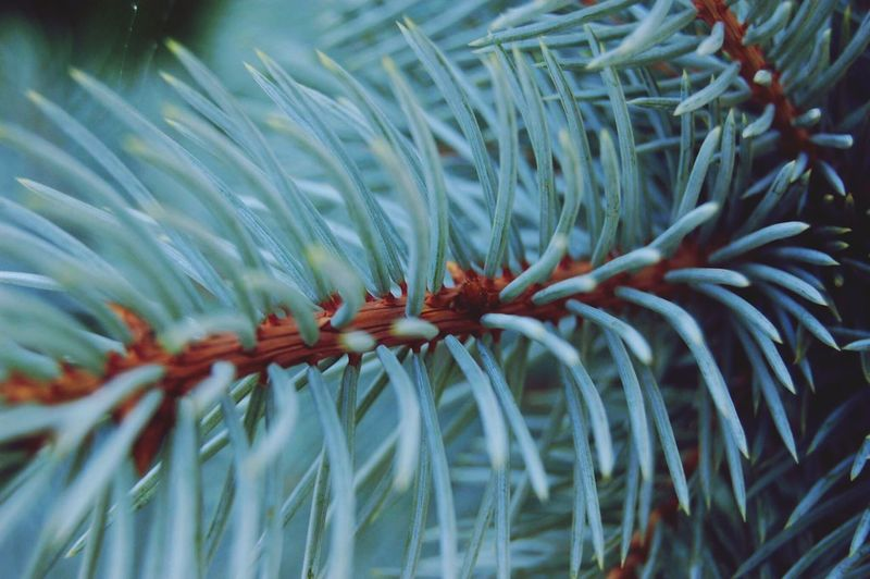 IPS2016Closeup Pine Tree ... Sunny Day Pine Needles Nature_collection Nature IPhoneography Oswego, IL