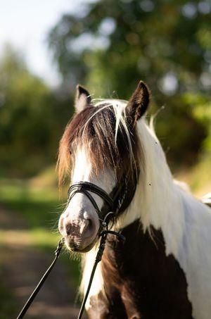 EyeEm Selects Pets Portrait Close-up Horse Pony Paddock Herbivorous Grazing Horseback Riding Mane Ear Working Animal Pet Equipment