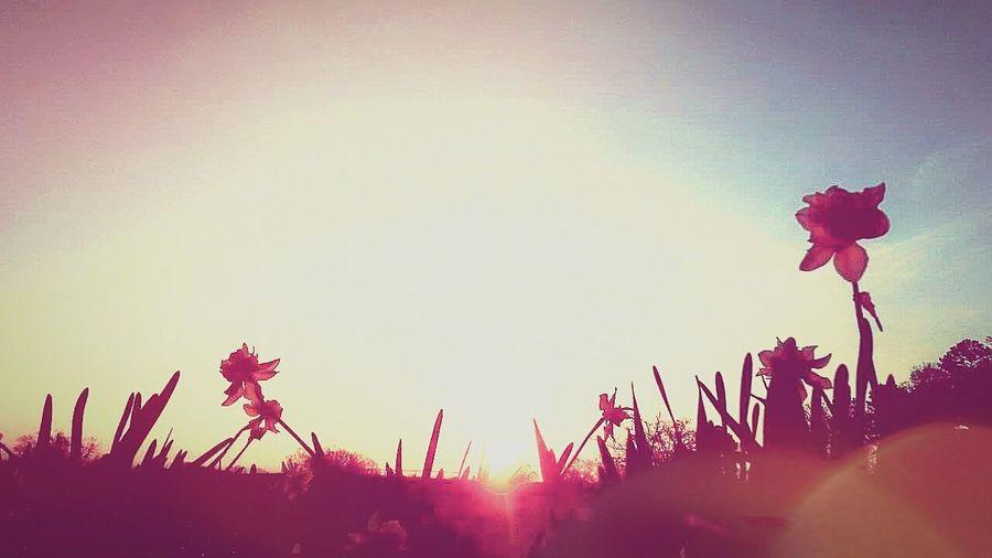 Sunrise Daffodils Goodmorning Beautiful Country Life