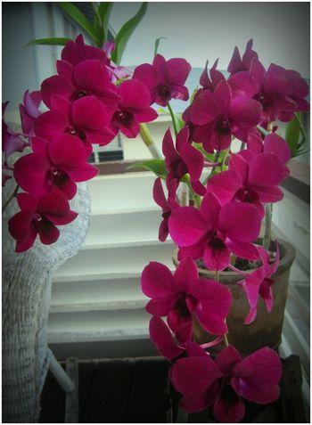 Aloha🌴 Daddy's Blue Spray Dendrobian Orchid Plant🌺 Aliamanu Honolulu  Hawai'i
