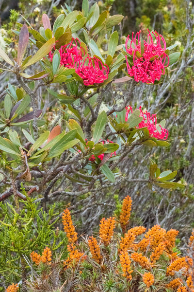Jan 2017 - Pine Lake, Tasmania Pine Lake, Tasmania Summer Flowers Beauty In Nature Botany Close-up Day Flower Flower Head Flowering Plant Fragility Freshness Growth High Angle View Horticulture Inflorescence Leaf Nature No People Outdoors Petal Pink Color Plant Vulnerability