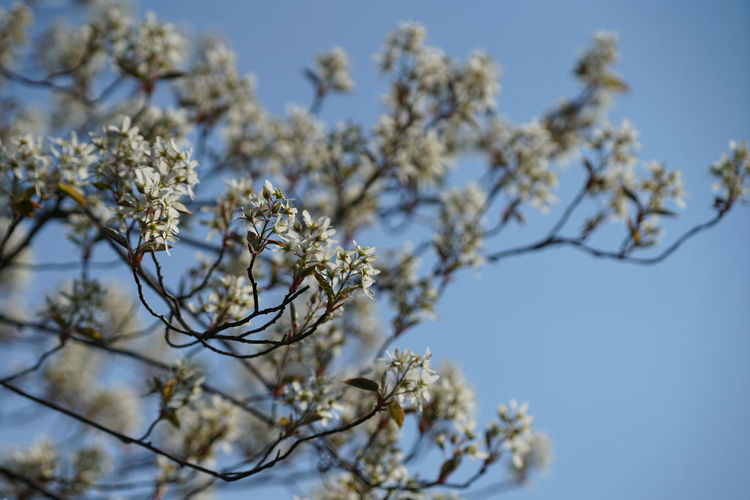 Low angle view of white flowering tree against clear sky