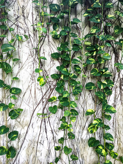 Devil s ivy, Epipremnum aureum on white concrete wall background, Abstract background Devil S Ivy Epipremnum Aureum Green Color Pattern, Texture, Shape And Form Patterns In Nature Background Beauty In Nature Climbing Concrete Wall Cover Creeper Plant Fence Garden Geeen Green Color Growth Leaf Leaves Nature Outdoors Pattern Plant Plant Part Stained White Background
