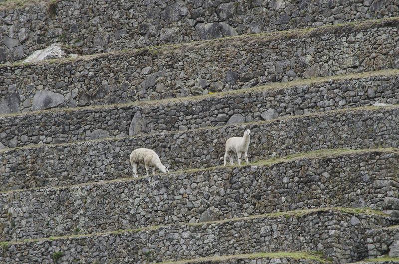 Alpacas at machu picchu