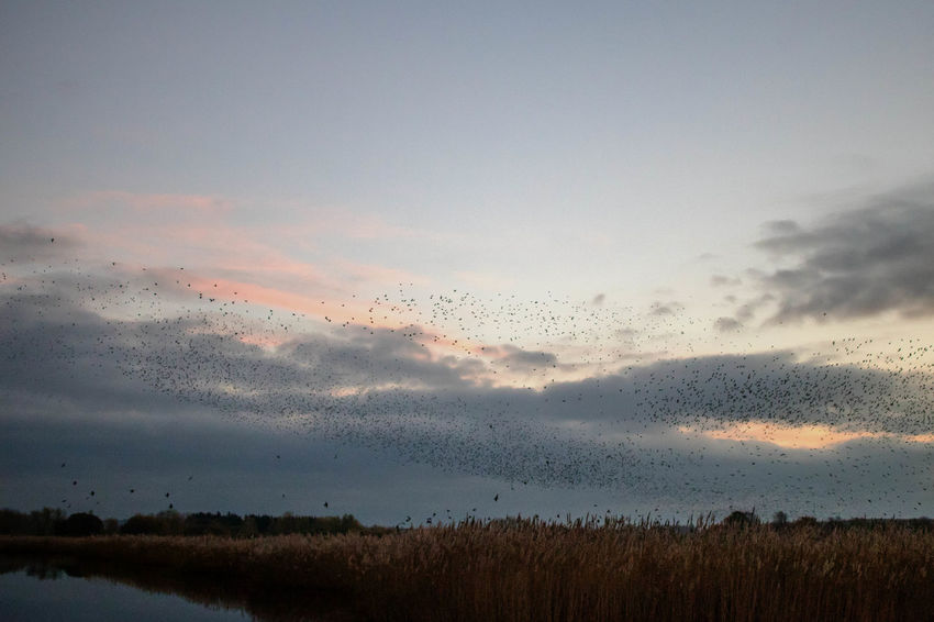 Sunset Nature Flying Sky Beauty In Nature No People Scenics Cloud - Sky Bird Tranquility Flock Of Birds Close-up Outdoors Animal Themes Day Somerset Murmuration Of Starlings Flock Of Birds