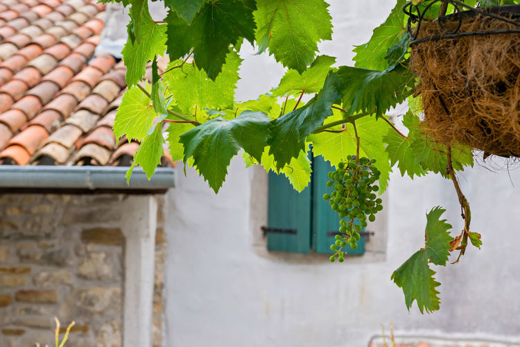 Bunch of grapes with green leaves in daylight. Shallow depth of field. Architecture Building Building Exterior Built Structure Day Focus On Foreground Food Food And Drink Grape Grates Green Color Growth House Leaf Nature No People Outdoors Plant Plant Part Roof Roof Tile Tree