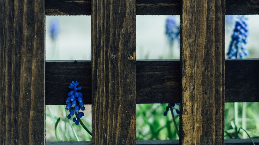 Close-up of grape hyacinths and railing in yard