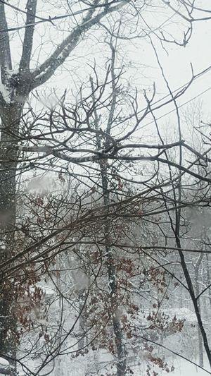Winterstormjonas Trees Kentucky