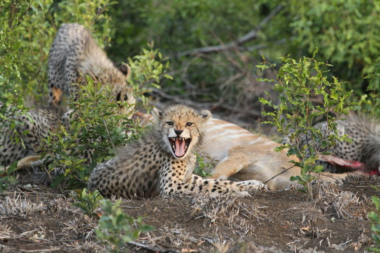 Close-Up Of Young Cheetah Cub With Mouth Open