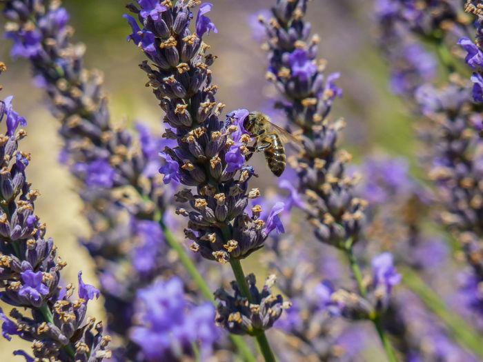 Bee Blooming Blooming Flower Bugs Close-up Day EyeEm Nature Lover Field Flowue Honey Lavender Nature No People Polen Purple Purple Flower