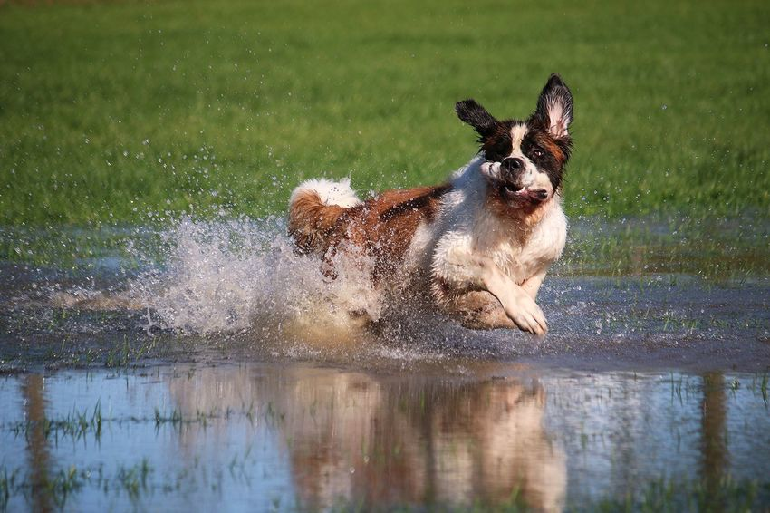 saint bernard is jumping in the water Bernhardiner FUNNY ANIMALS Running Saintbernard Action Active Animal Themes Day Dog Domestic Animals Funny Faces Grass Jumping Nature One Animal Outdoors Park Pets Portrait Saint Bernard Sea Splashing Sport Summer Water