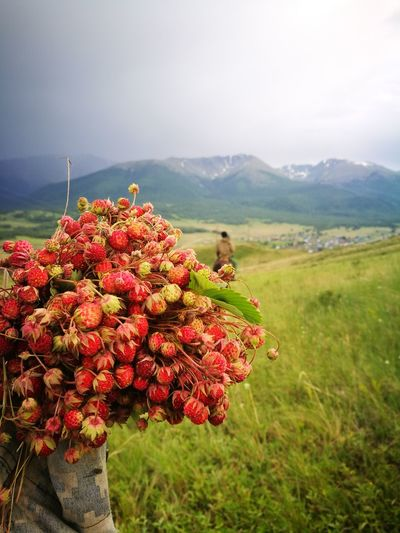 Земляника❤ Strawberries Nature Activity Activity Day Beauty In Nature EyeEm Selects Man Mountains And Sky Flower Mountain Rural Scene Tree Agriculture Red Social Issues Flower Head Sky Plant