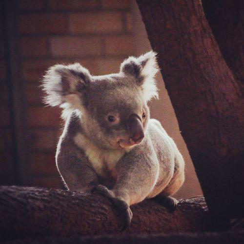 Koala 🐨 Bear Allthewayfromaustralia Insa Lightlydark○●○● Posingonatree Peacefulanimal Kindface Sleepy LFLAustralia #fff
