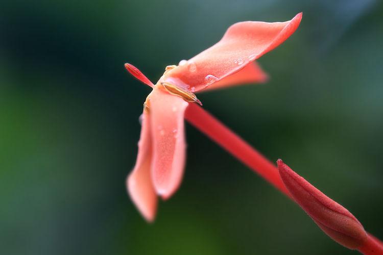 Close-up of wet orange ixora flower blooming at park