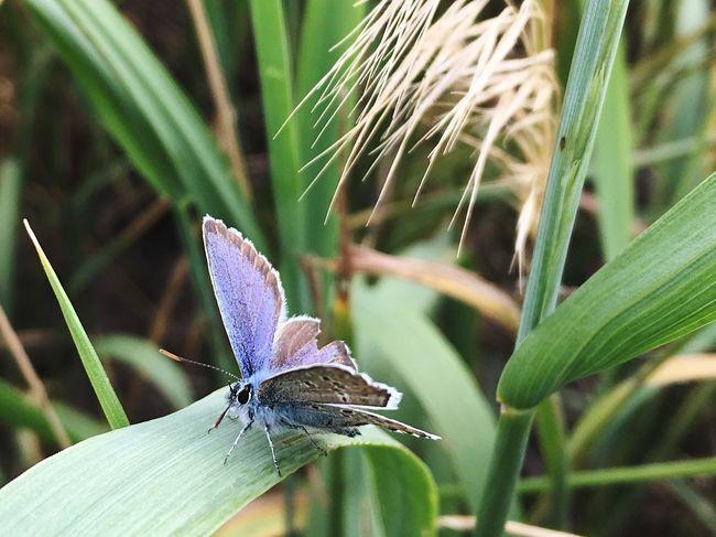 Голубянка Polyommatus Bellargus Lysandra Bellargus Butterfly