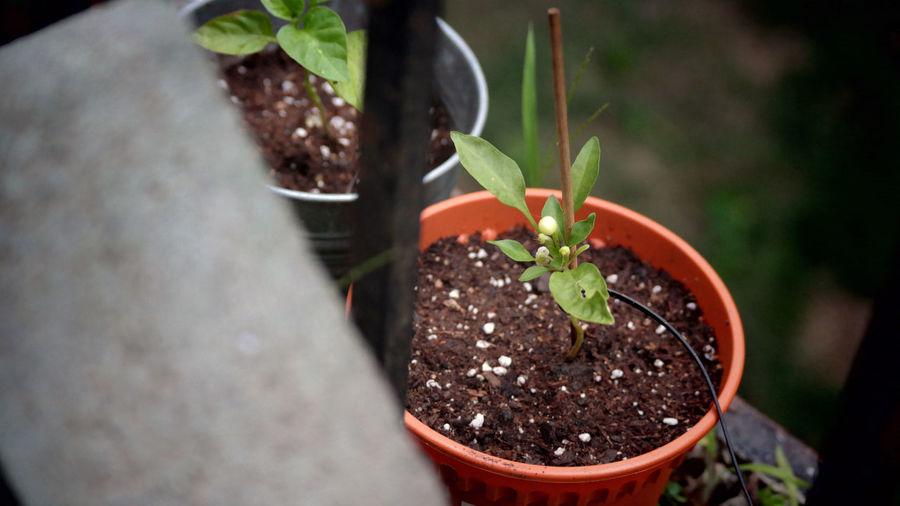 5 Color Marble Chilli Flowers,Plants & Garden Garden Plant Plants Potted Plant