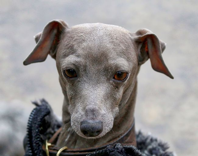 Close-up of italian greyhound