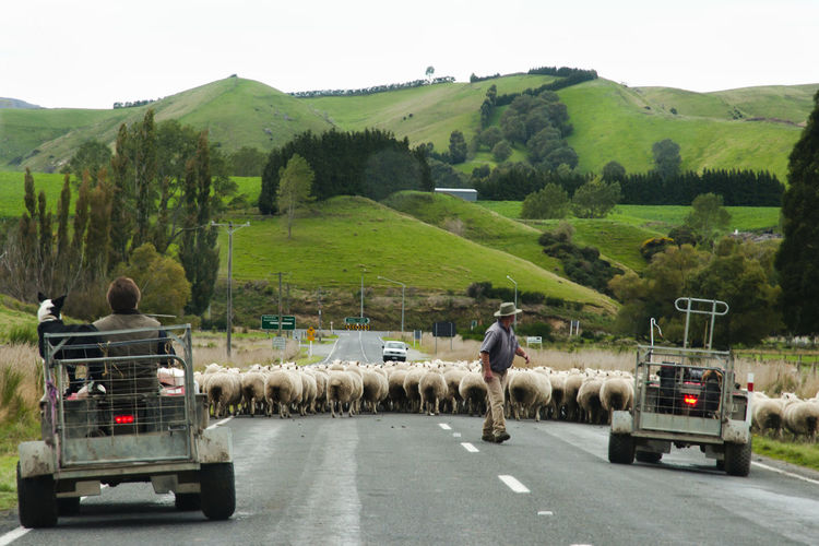 Sheep Herding - New Zealand NZ Road Cattle Flock Of Sheep Land Vehicle Large Group Of Animals Livestock Mammal New Zealand Road Sheep Herding Street