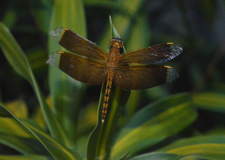 #Dragonfly #green #insects #fly #capture #yellow #wings #caught #webs #yellow Nature
