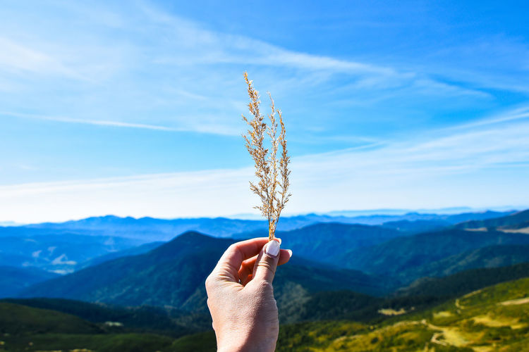 Dry grass in the woman's hand against the background of the mountain landscape and blue sky. travel