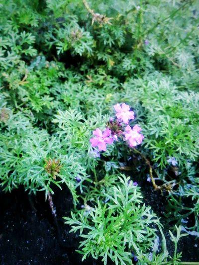 Morning Light Rainyflower Flower