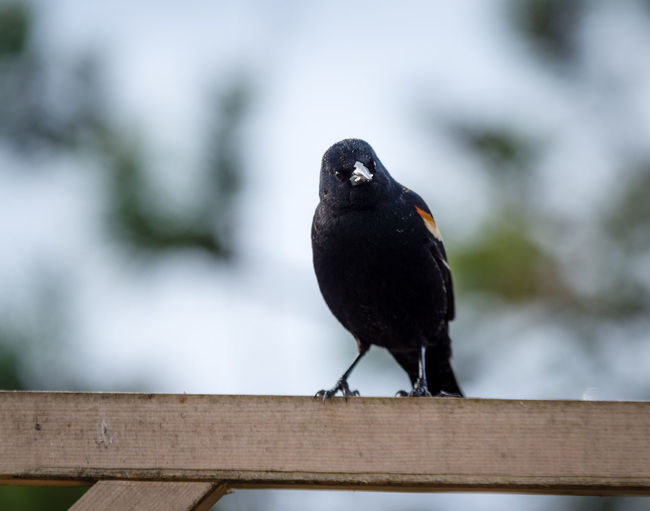 Red Winged Black Bird Animal Animal Themes Animal Wildlife Animals In The Wild Beak Bird Black Color Blackbird Close-up Day Focus On Foreground Nature No People One Animal Outdoors Perching Railing Raven - Bird Vertebrate Wood - Material