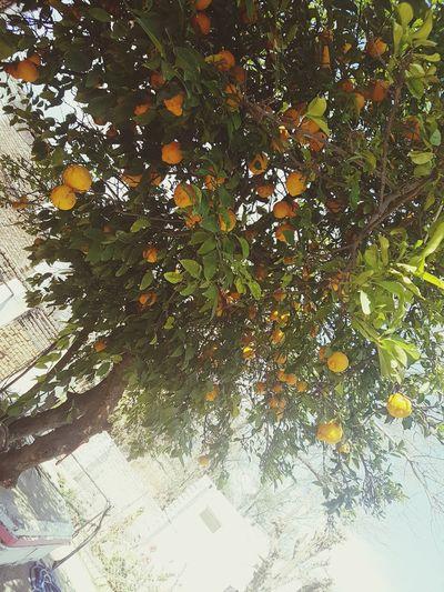 Lemontree Pakistan Nature 🌳🍋