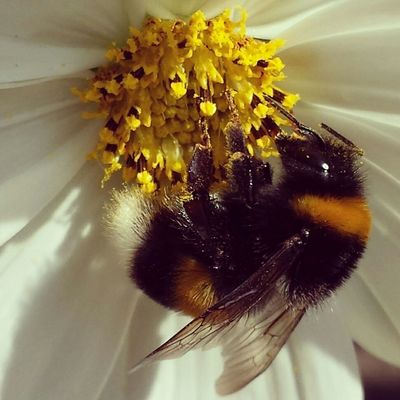 Bumblebee Insects  Insect Photography Nature Photography Macro Naturewhisperers EyeEm Nature Lover Insectlovers Insect_perfection Nofilter
