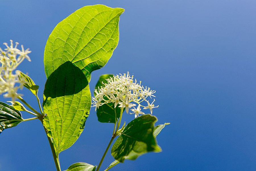Cornus Sanguinea Common Dogwood Botany Shrub Blossom Plant Leaf Plant Part Growth Beauty In Nature Nature Low Angle View Blue No People Day Freshness Close-up Sunlight Flower Clear Sky Outdoors Flowering Plant Green Color Sky