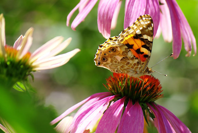Butterfly on pink coneflower at park