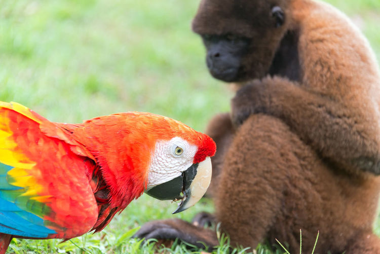 Scarlet Macaw with a Woolly Monkey in the Amazon near Iquitos, Peru Amazon Amazonas Amazonia Animal Wildlife Bird Blue Brown Close-up Day Iquitos  Latin America Macaw Monkey No People Outdoors Peru Red Scarlet Scarlet Macaw South America Tourism Travel Travel Destinations Woolly Monkey