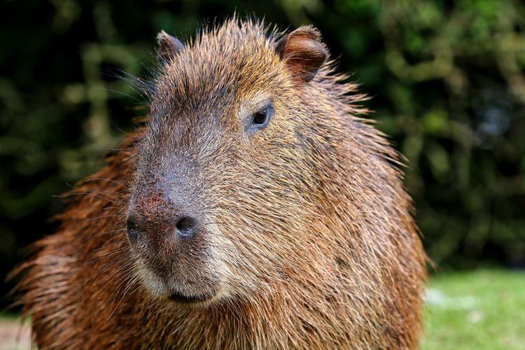 Close-up portrait of a capybara