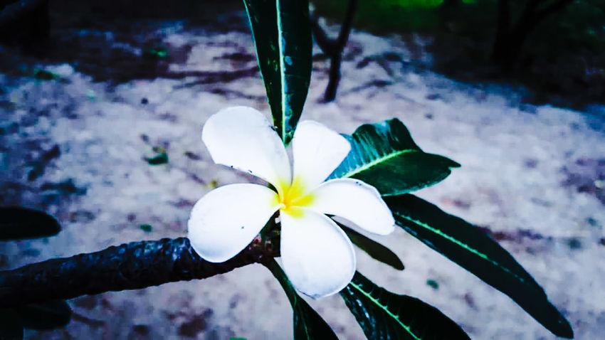 Flower Head Flower Water Frangipani Iris - Plant Petal Leaf Blossom Orchid Lily