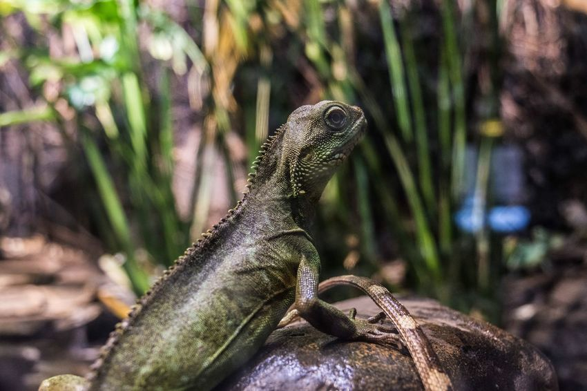 Green Basilisk On A Rock Exotic Animals Animal Themes No Person Basilisk Jesus Christ Lizard Plumed Basilisk Green Basilisk Green Green Color Chameleon Reptile Lizard Iguana Animal Wildlife Animals In The Wild Nature Tree Outdoors Animal Themes Day No People Close-up