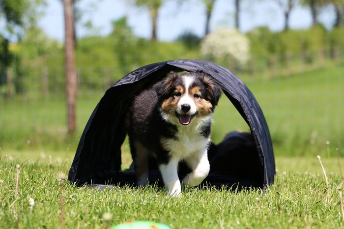 border collie puppy is making agility in the garden Agility Baby Border Collie Tricolor Animal Themes Black Color Bordercollie  Day Dog Domestic Animals Garden Grass Mammal Nature No People One Animal Outdoors Park Pets Portrait Puppy Spring Tree Tunnel Welpe