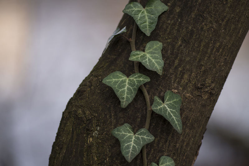 Efeu EyeEm Nature Lover Focus On Foreground Garden Photography Green Leaf Ivy Leaf Leaves Nature Nature Photography Natural Pattern Things That Are Green Tree Wood