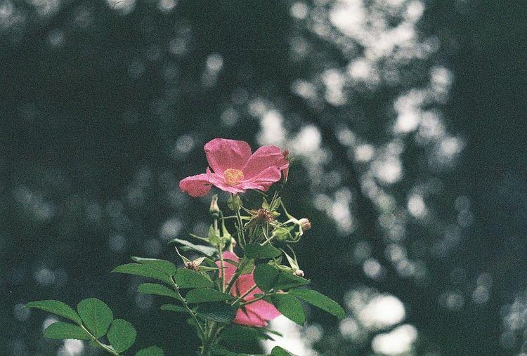 Flower Nature Growth Flower Head Agfaapx100 Helios103 Kiev4 Film Photography Filmisnotdead Minsk