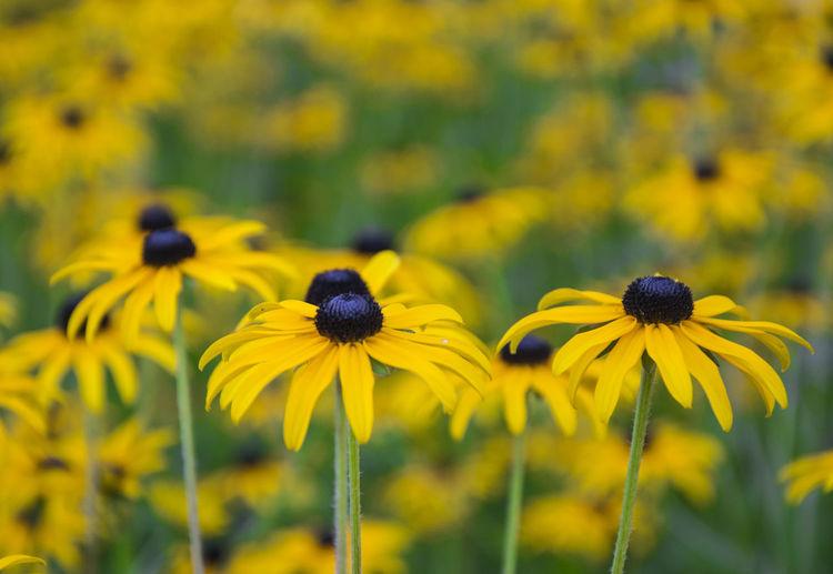 Black-eyed-susan blooming on field
