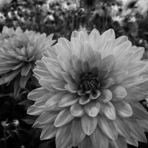 Day 249 Project 365 Black & White Black And White Blackandwhite Photography Garden Photography Flowers Flower Collection Flowers,Plants & Garden Blackandwhite Flowerporn