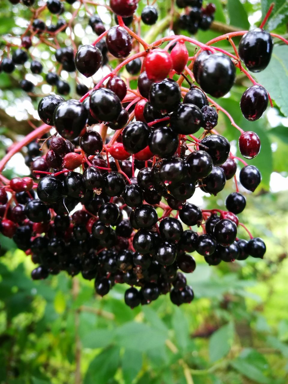 fruit, food and drink, growth, grape, healthy eating, blackberry, agriculture, nature, outdoors, bunch, freshness, red, ripe, no people, close-up, day, vineyard, focus on foreground, black color, winemaking, tree, food