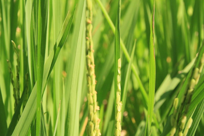 Rice green Green Color Green Ricefield Rice Harvesting Harvest Green Green Green!  Green Nature Human Vs Nature Life In Colors Inspired Color Photography Fruity Fruitful Closeup Cereal Plant Backgrounds Full Frame Agriculture Ear Of Wheat Field Close-up Grass Plant Green Color Rice Paddy Terraced Field Farmland Farm Agricultural Field Rice - Cereal Plant