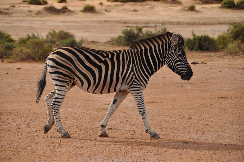 Animals In The Wild Aquila Game Reserve Arid Climate Day Full Length Nature No People Outdoors Side View Standing Striped Tree Zebra