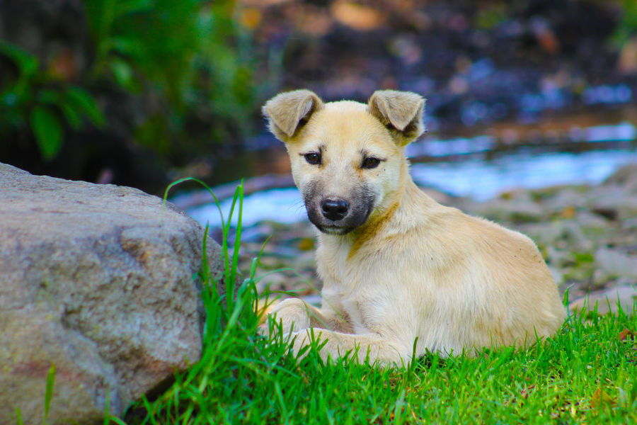 Alertness Animal Head  Animal Themes Close-up Cute Day Dog Focus On Foreground Grass Grassy Mammal Nature No People Outdoors Pets Portrait Puppy Relaxation Relaxing Resting Selective Focus Sitting