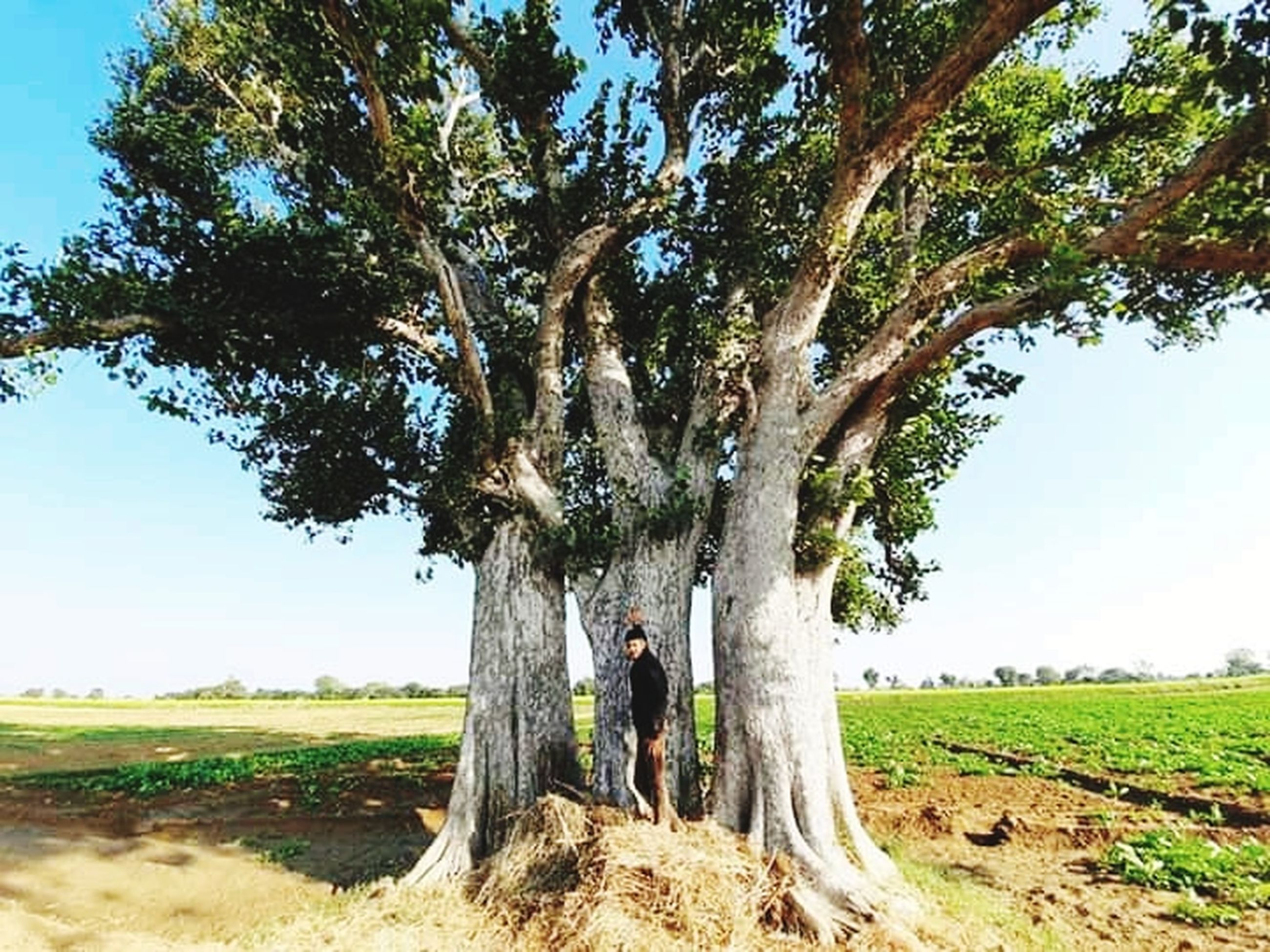 plant, tree, landscape, nature, environment, growth, sky, land, field, produce, rural scene, day, beauty in nature, tree trunk, trunk, tranquility, sunlight, scenics - nature, outdoors, green, agriculture, plantation, soil, tranquil scene, no people, food and drink, rural area, non-urban scene, grass