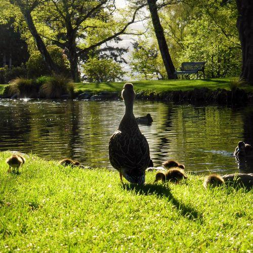 Mumma Mummduck Mummasbaby Duck Ducklife Colorgreen Grass Water Water Reflections Animal Themes Queenstown Nz