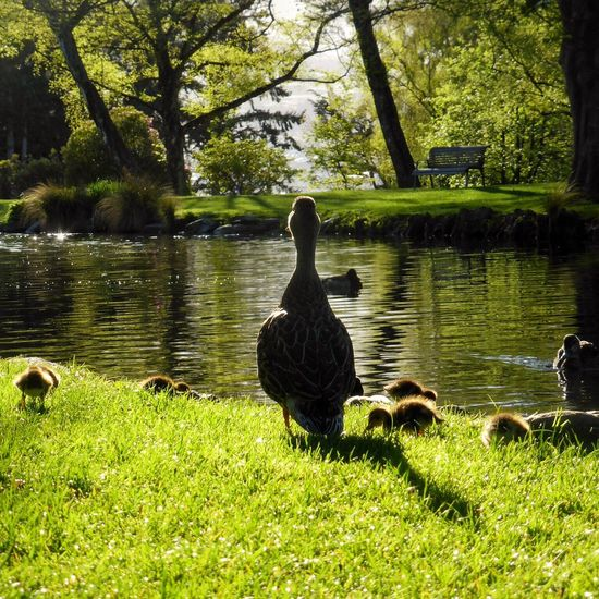 Mumma Mummduck Mummasbaby Duck Ducklife Colorgreen Grass Water Water Reflections Animal Themes Queenstown Nz