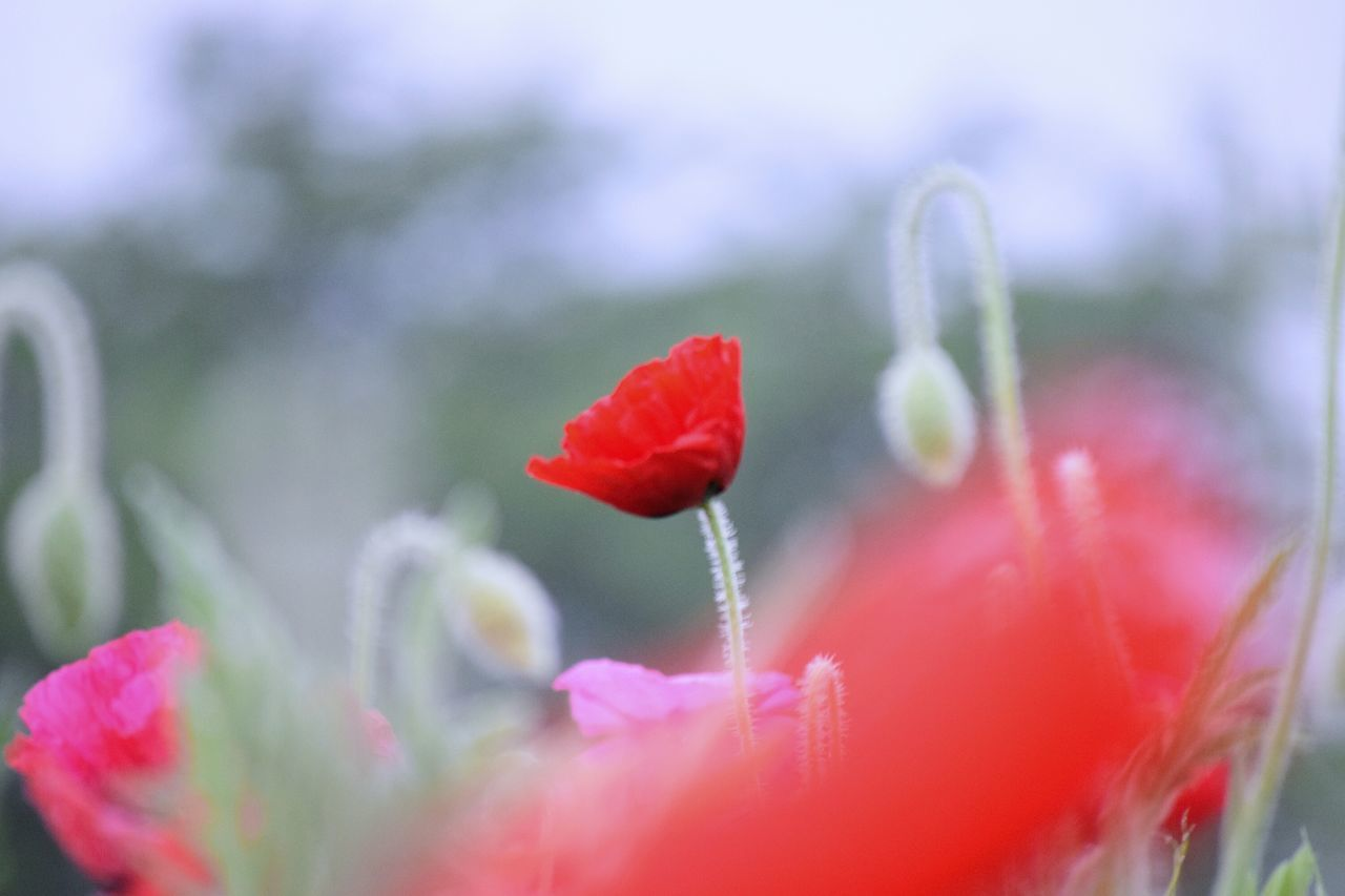flower, fragility, beauty in nature, petal, growth, nature, plant, freshness, flower head, red, selective focus, no people, close-up, outdoors, day, springtime, blooming, poppy