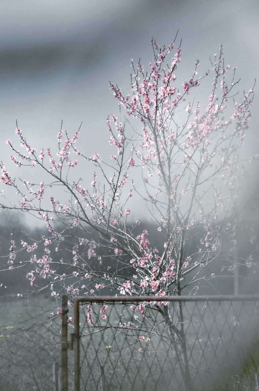CHERRY BLOSSOMS IN SPRING AGAINST PLANTS
