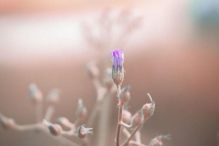 will Flower Flower Head Close-up Sky Plant Purple Blooming Cosmos Flower Dahlia Street Art