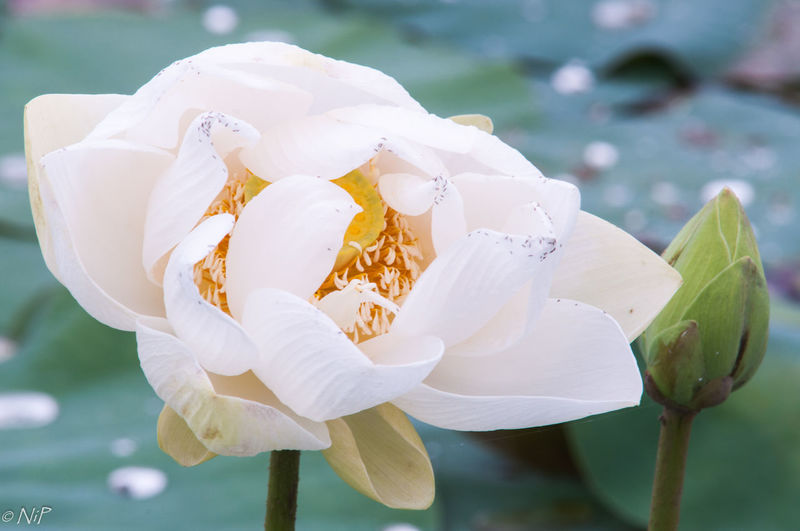 When a with lotus was a tiny world #Nature  #aintNUFFIN #earlymornings  #tiniworld #whiteflower #whitelotus Blooming Flower
